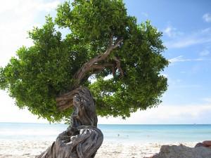 Karakteristiska trädet Divi Divi